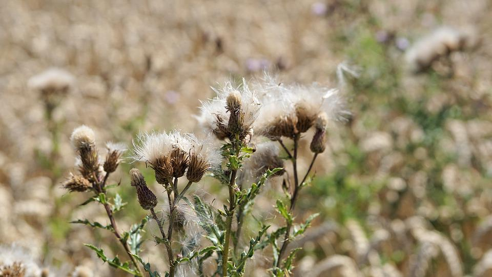 Flower, Field, Nature, Summer, Plant, Weed, Green