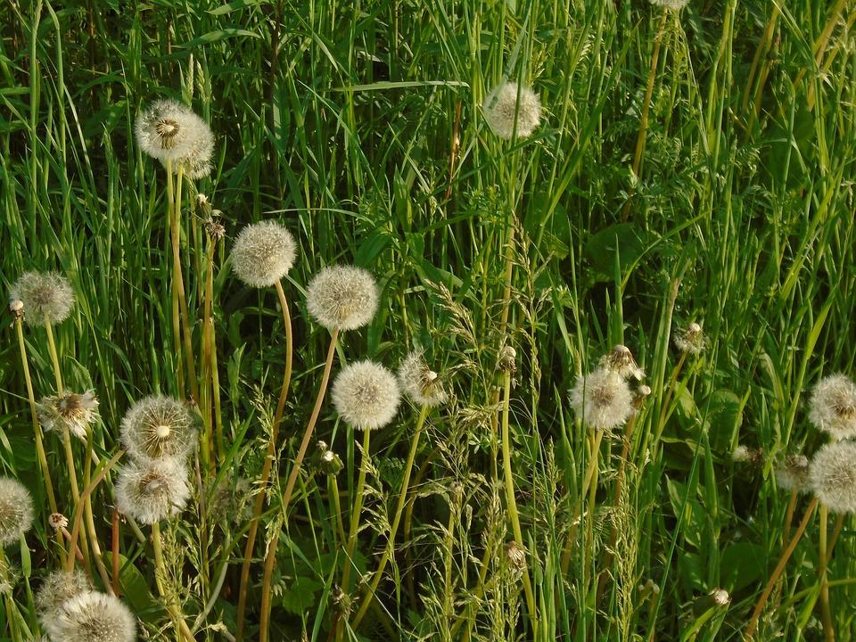 Dandelion, Green, Plant, Flower, Grass, Summer, White