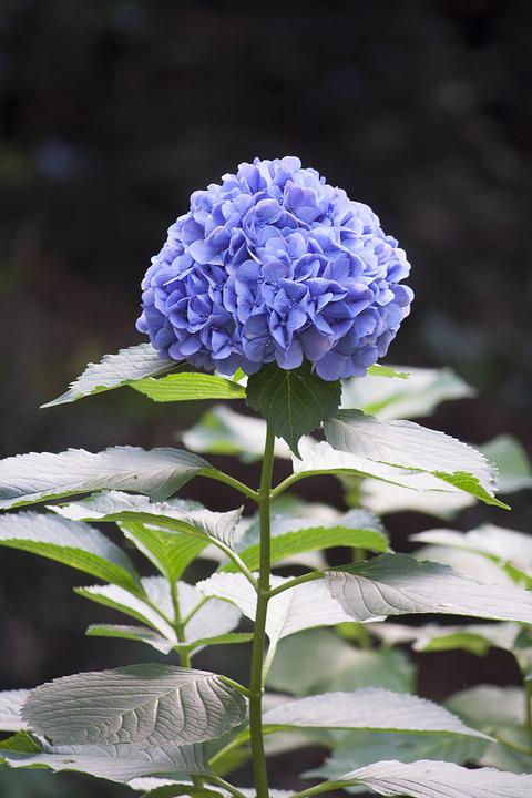 Nature, Flowering Plant, Flower, Hydrangea, Blue, Green