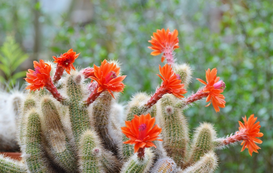 Cactus, Spur, Flowers, Bloom, Green, Prickly, Plant