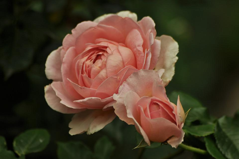 Rose, Flowers, Pink, Bloom, Color, Green, Two, Couple