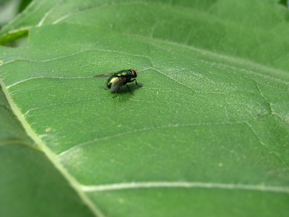 Fly, Leaf, Insect, Green