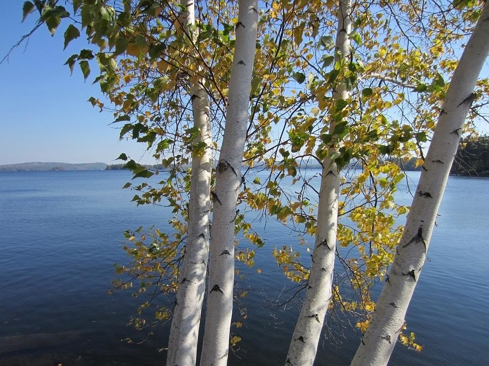Trees, Birch, Foliage, Sunlight, Bright, Green, Water