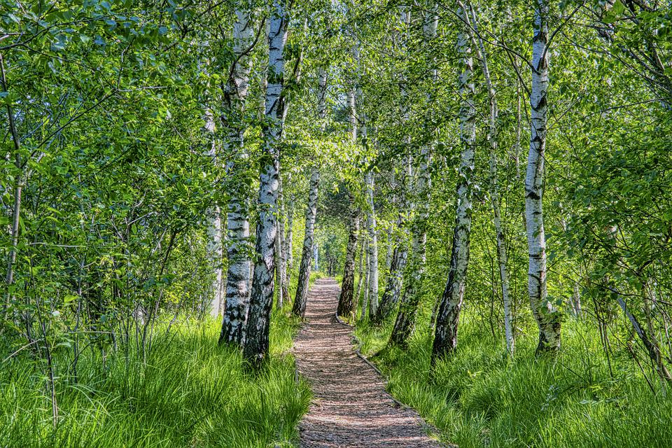 Away, Path, Forest, Forest Path, Trail, Birch, Green
