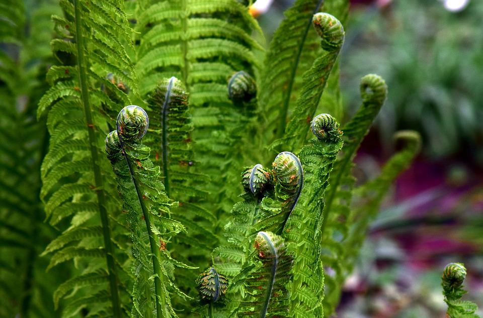 Fern, Green, Plant, Forest, Leaf Fern, Nature, Spring