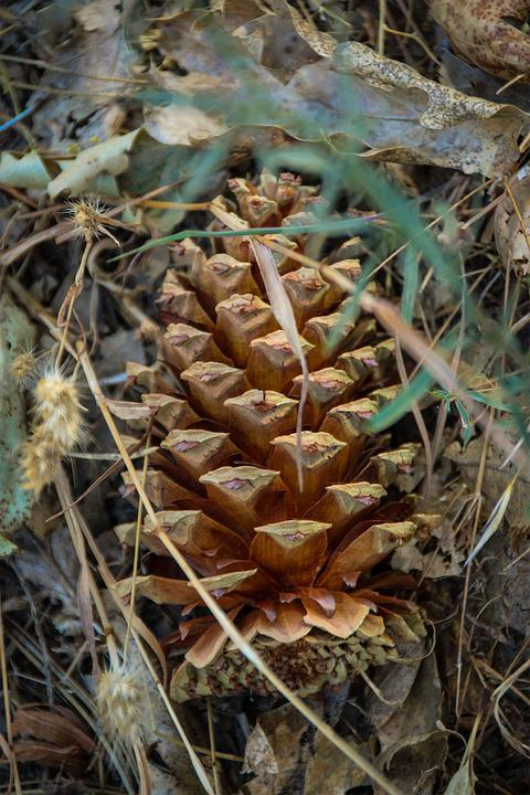 Pinecone, Nature, Forest, Cone, Tree, Pine, Green