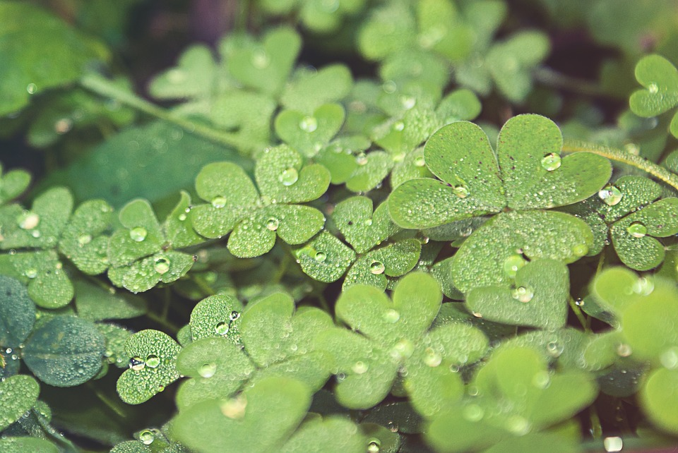 Green, Clover, Four Leaf Clovers, Nature