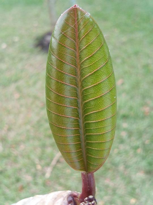 Autumn Leaves, Frangipani Tree, Dicotyledon, Green