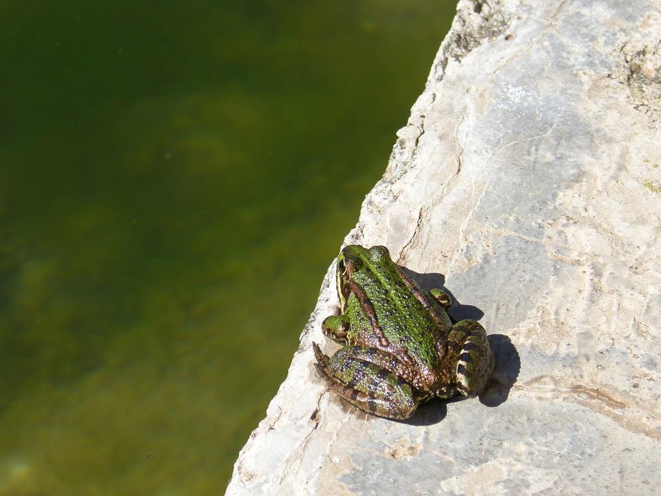 Frog, Raft, Jump, Batrachian, Green