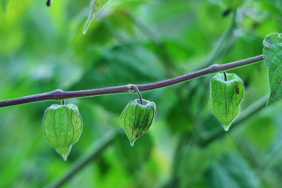 Cape Gooseberry, Fruit, Gooseberry, Caped, Green
