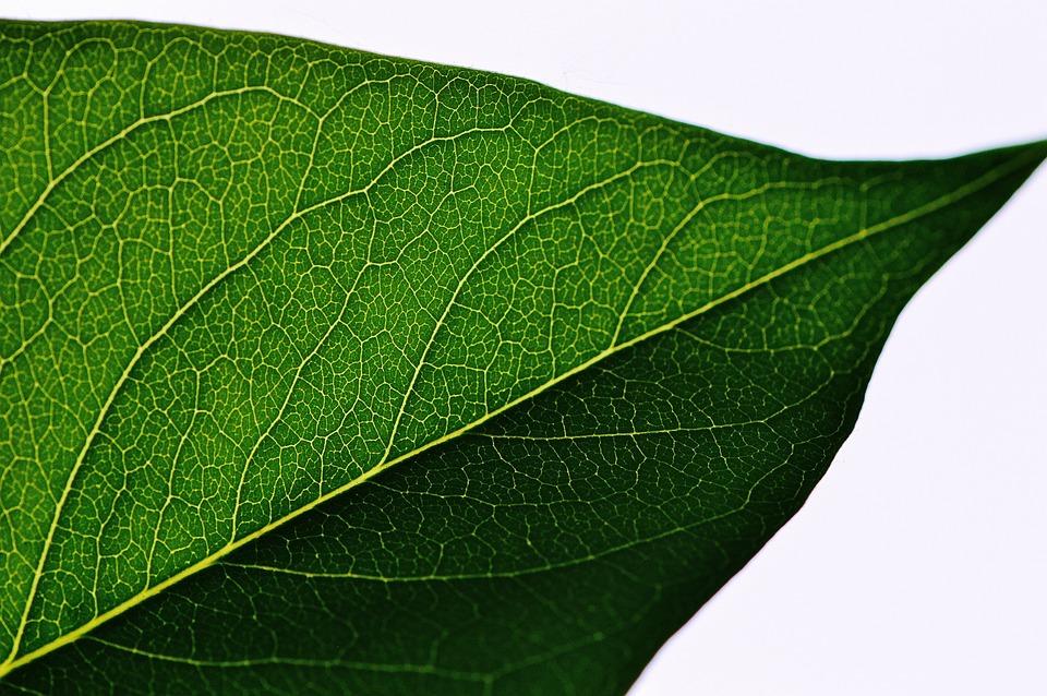 Leaf, Lilac, Green, Full, Plant, Nature, Garden, Bush