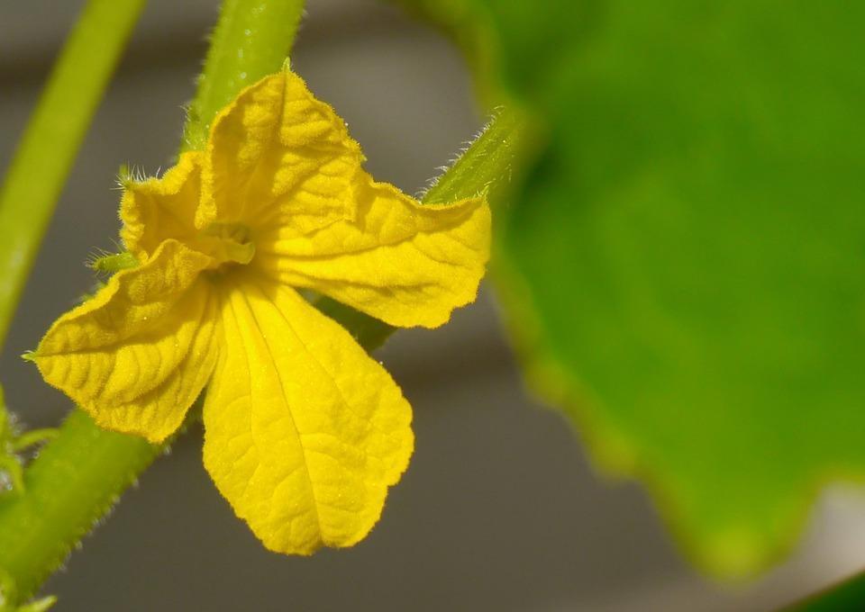 Cucumber, Flowers, Yellow, Leaf, Green, Garden, Otsu
