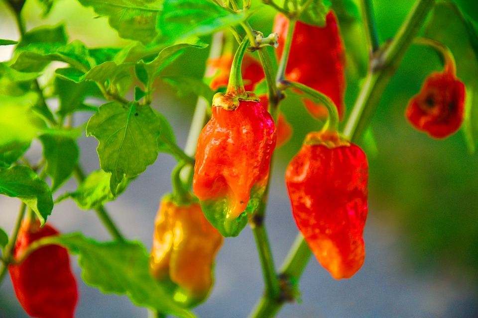 Ghost Pepper, Hot, Scoville Units, Green Ghost
