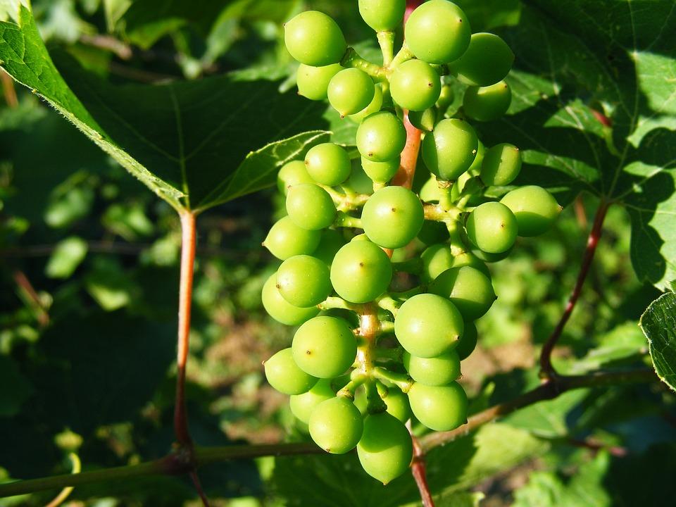 Grapery, Grapes, Green, Raw, Sour, Vineyard, Fruit