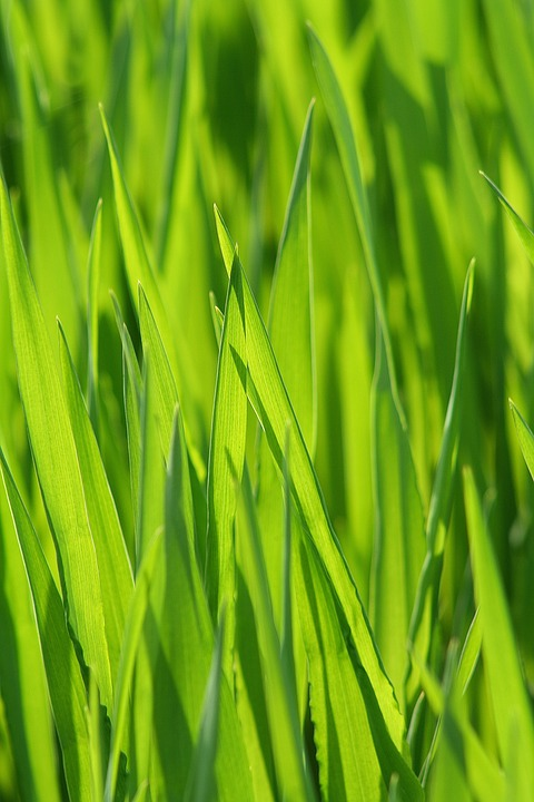 Grass, Meadow, Grasses, Blade Of Grass, Green, Cereals