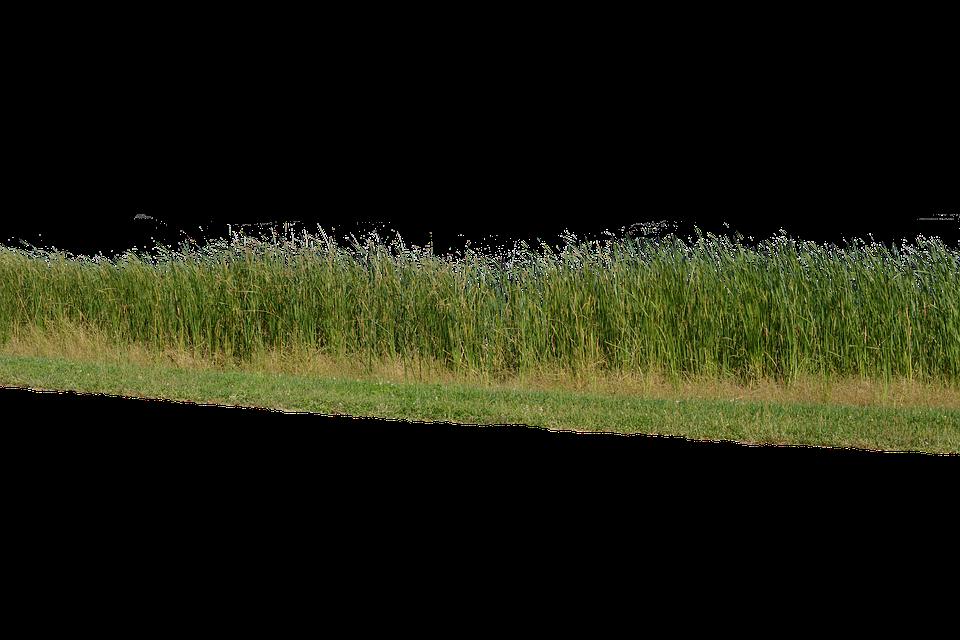 Grass, Grass No Background, Nature, Green, Plant