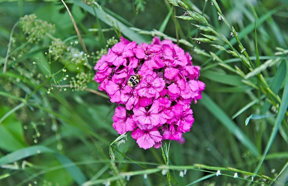 Brush Beetle, Sweet William, Meadow, Grasses, Green