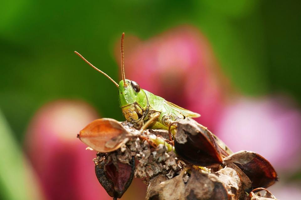 Green Grasshopper, Grasshopper, Insect, Dry Plant