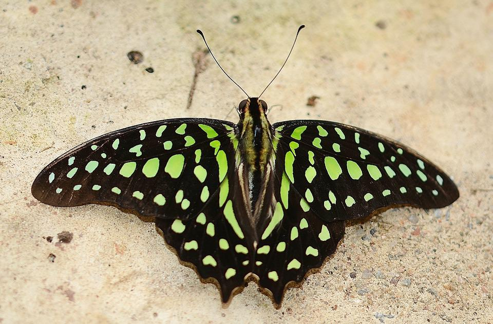 Green Malachite Butterfly, Green