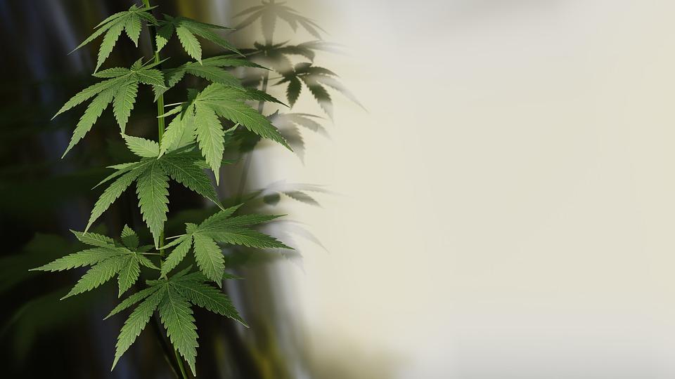Cannabis, Hemp, Plant, Medical, Green, Narcotics, Grass