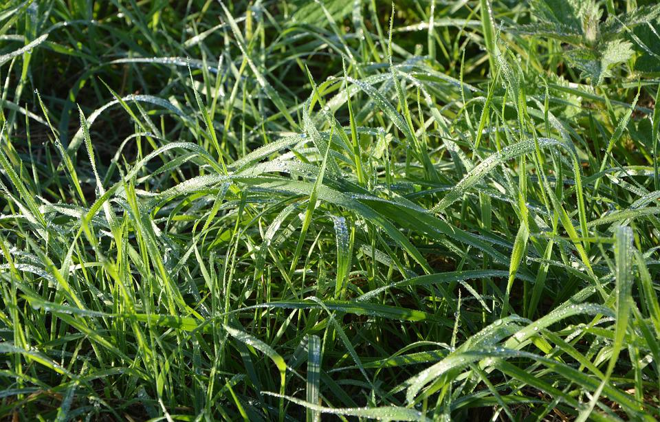 High Grass, Morning Dew, Droplets Of Water, Green