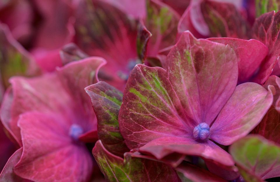 Hydrangea, Hortensia, Green, Pink, Flower, Nature