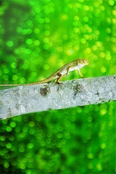 Iguana, Lizard, Animal, Branch, Green