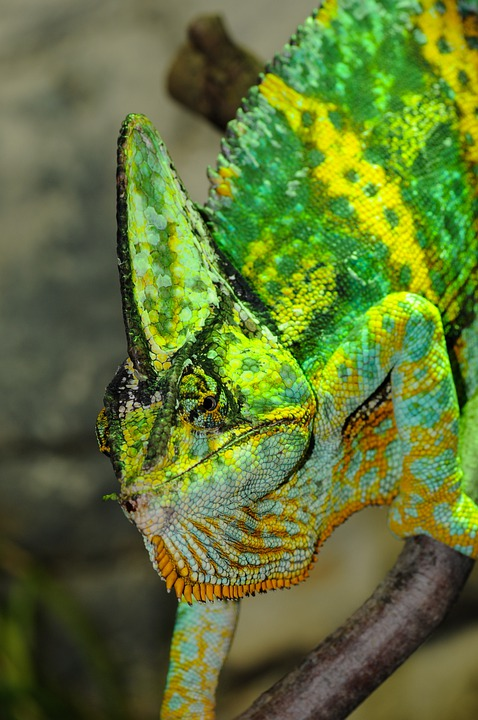 Chameleon, Reptile, Iguana Like, Zoo, Green, Head