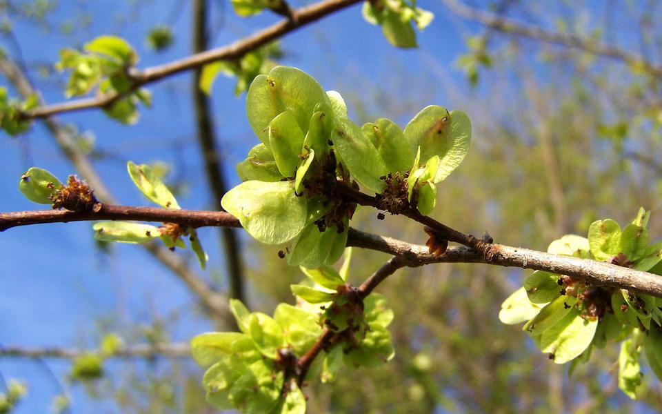 Blooming Elm Branch, Green Inflorescence, Spring