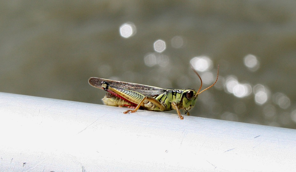 Grasshopper, Close-up, Green, Insect, Jump, Legs