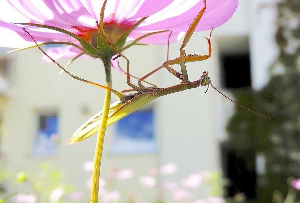 Praying Mantis, Insect, Green, Animal, Fishing Locust