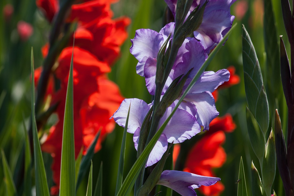 Gladiolus, Sword Flower, Iridaceae, Red, Violet, Green