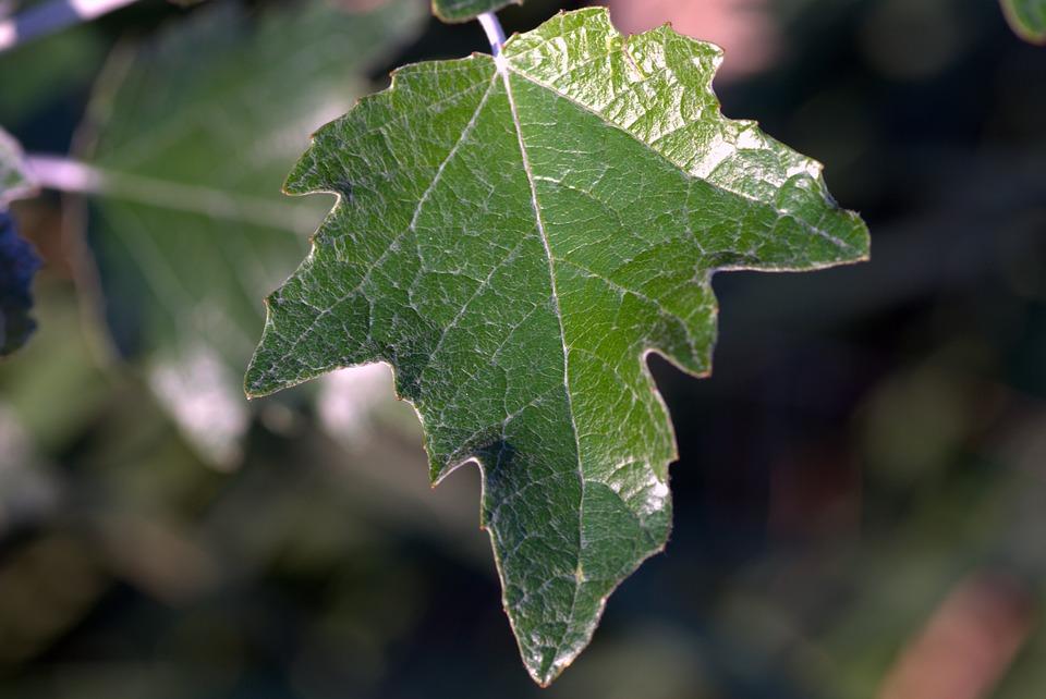Leaf, Green, Foliage, Tree, Bush, Park, Ivy