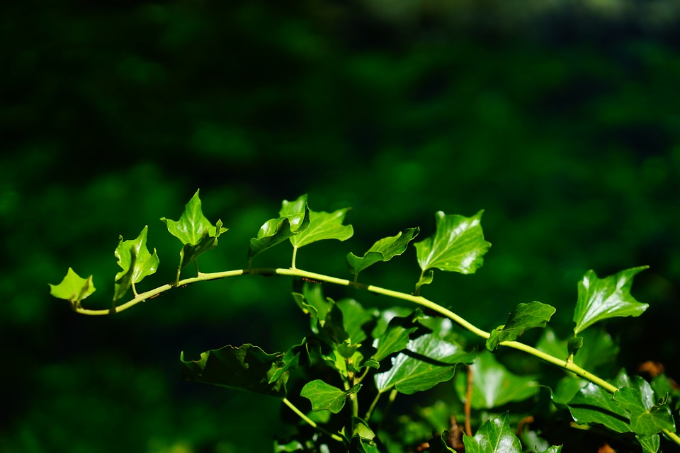 Ivy, Ivy Branch, Branch, Leaves, Green, Flora