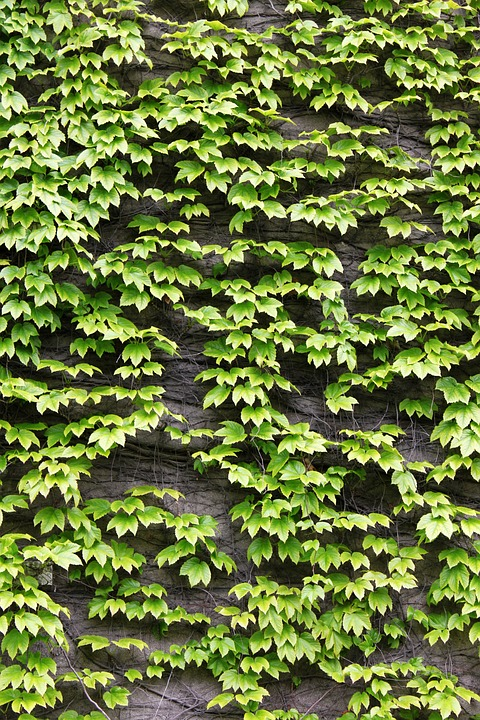 The Leaves, Green, Ivy