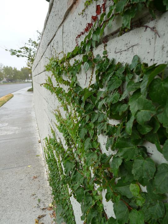 Ivy, Vines, Growing, Green, Rain