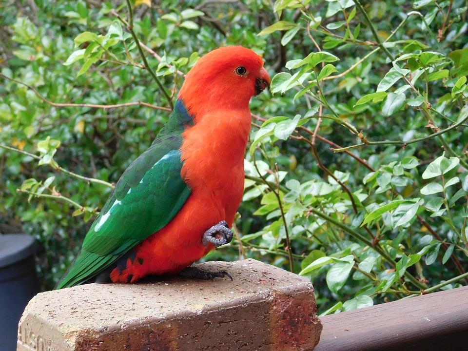 Parrot, King-parrot, Australia, Male, Green King