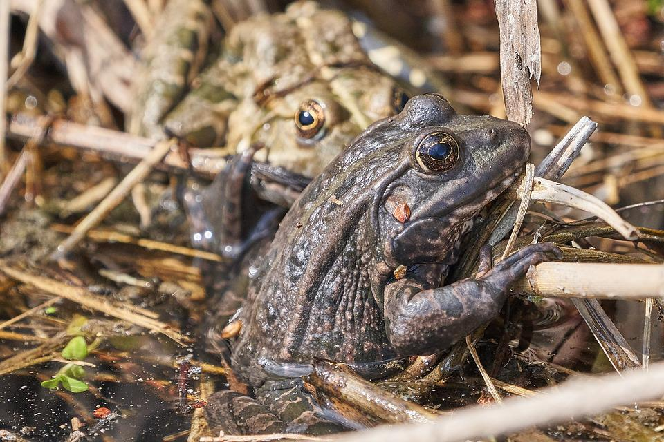 Frog, Lake, Frogs, Water, Green