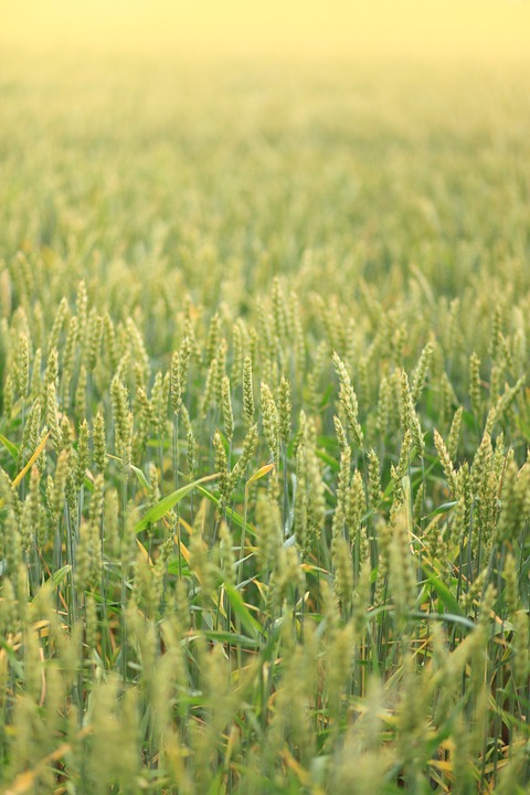 Landscape, Field, Wheat, Green, Nature, Spikes, Cereal
