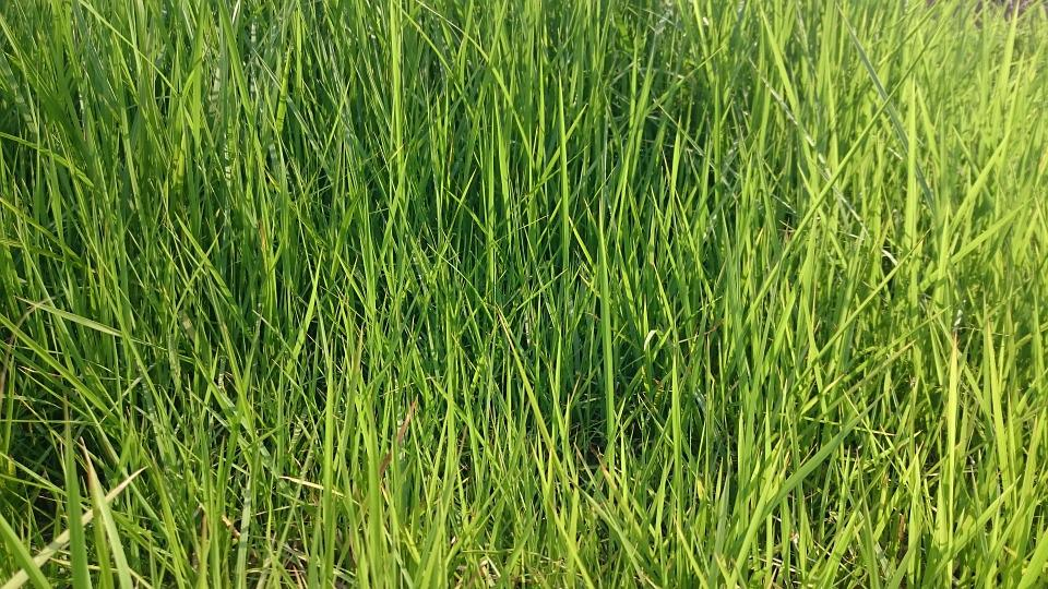 Grass, Green, Nature, Blades, Meadow, Field, Lawn, Yard