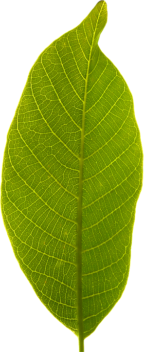Leaf, Transparent Background, Cropped, Green Leaf