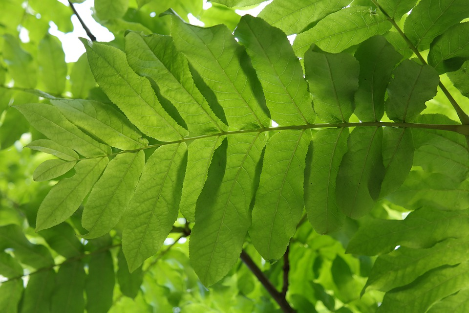 Leaf, Green, Leaf Fronds, Back Light, Leaf Ribs
