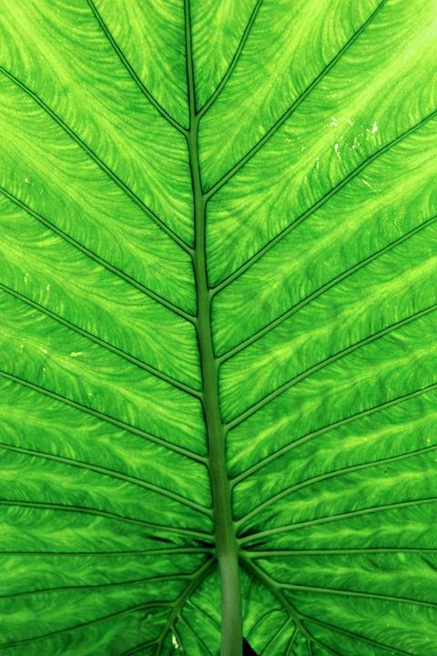 Leaves, Green, Leaf, Large, Plant, Green Leaf