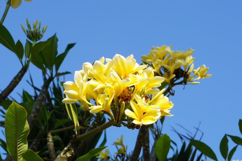 Plumeria, Bali, Plant, Yellow, Flower, Green Leaf