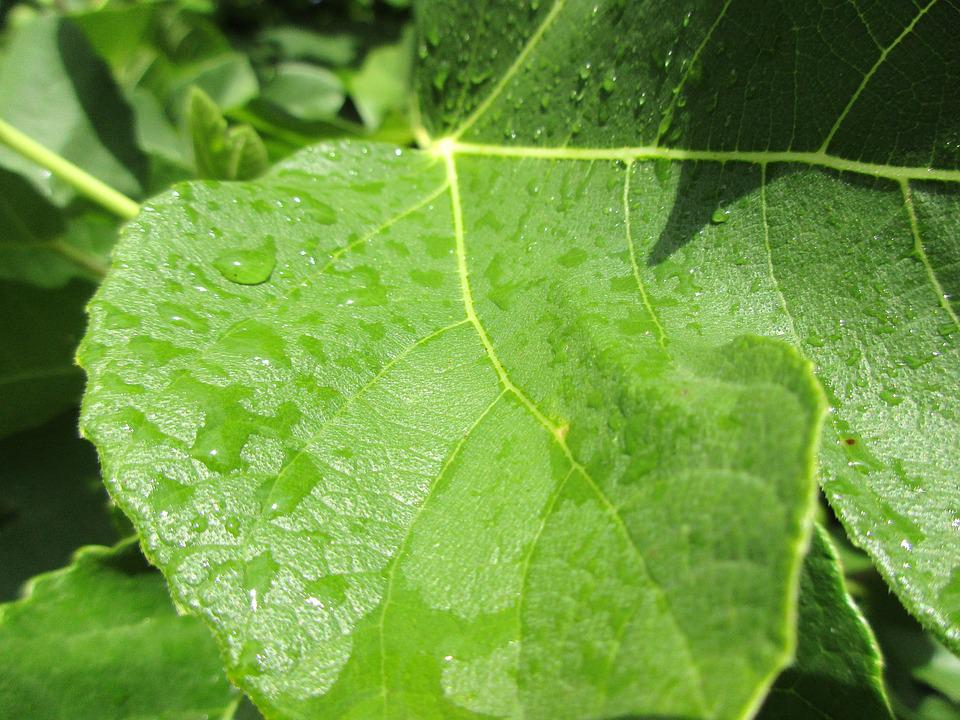 Raindrop, After The Rain, Green Leaf