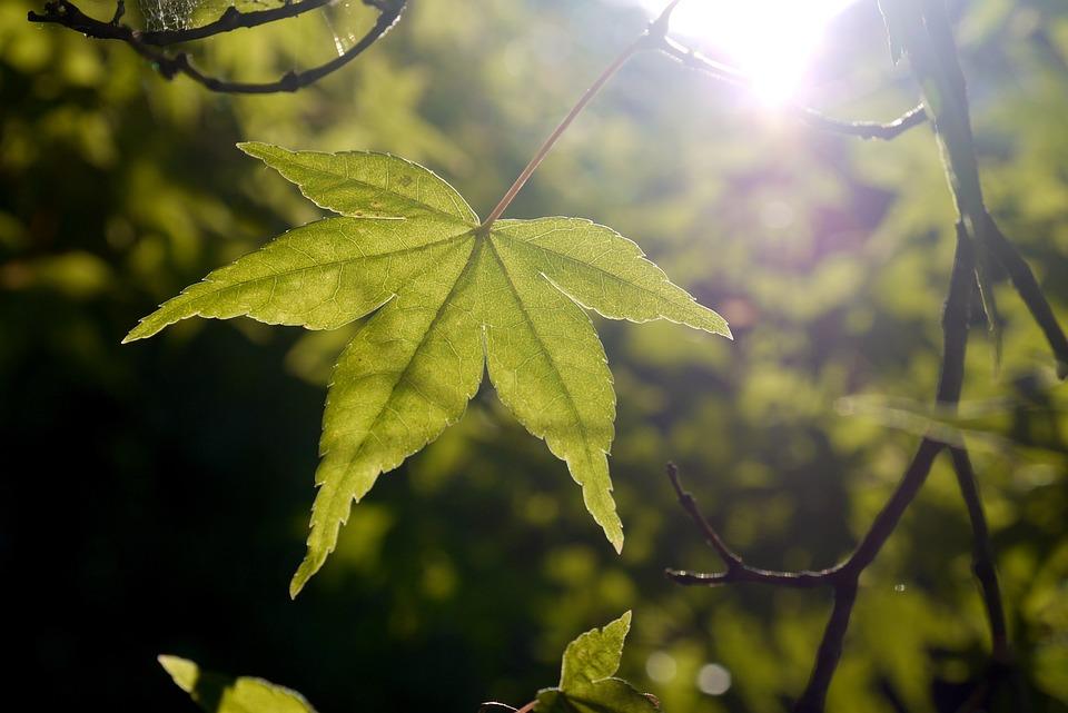Leaf, Maple, Sun, Light, Green, Summer, Spring, Tree