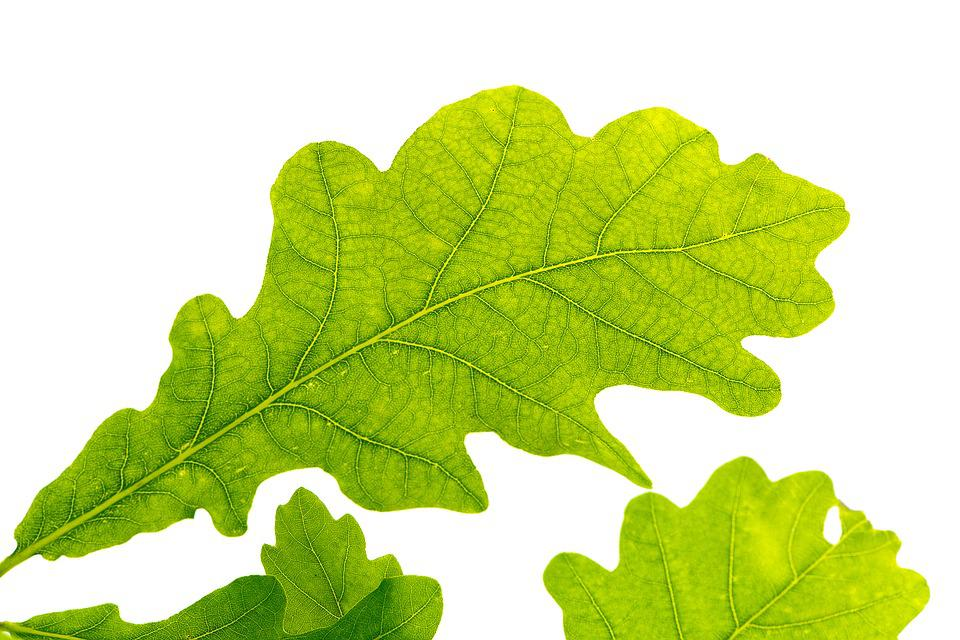 Oak Leaf, Green, Tree Leaf, Green Leaf, Leaf Structure