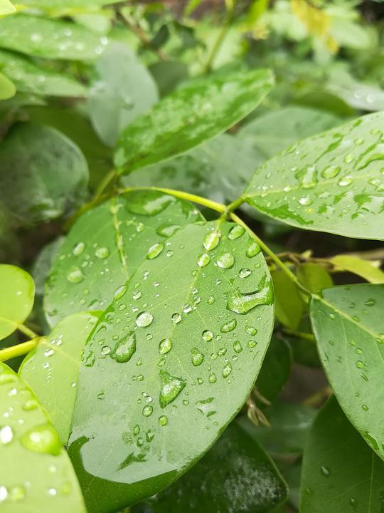 Dew Leafs, Green Leafy, Leaves, Nature, Natural, Greens