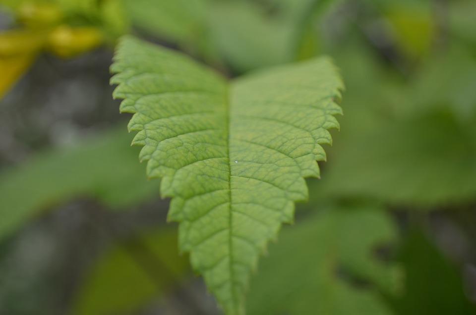 Green, Leaf, Closeup, Nature, Leaves, Natural