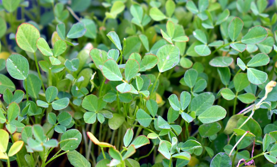 Fenugreek, Herb, Spice, Green Leaves, Plant